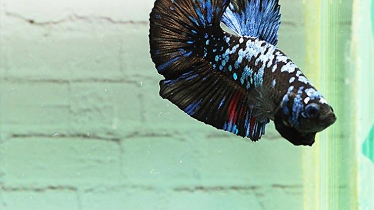 Ikan Cupang Avatar Kalimaya