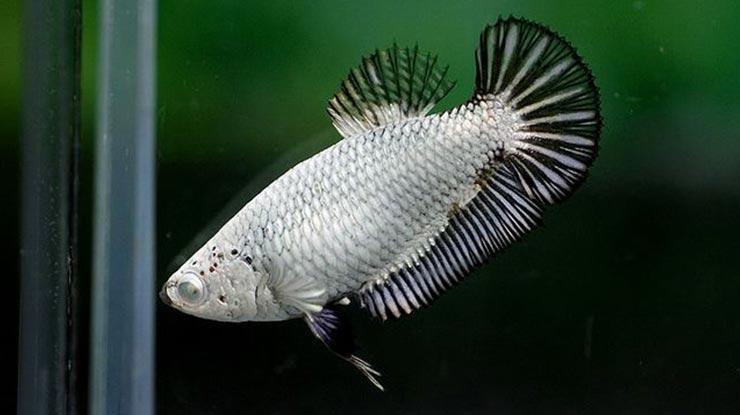 Ikan Cupang Betina Dipuasakan