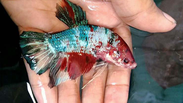 Ikan Cupang Giant 1