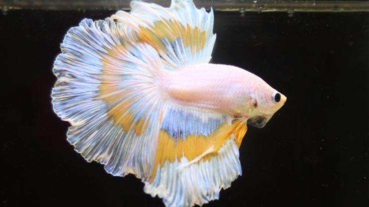 Ikan Cupang Halfmoon 1