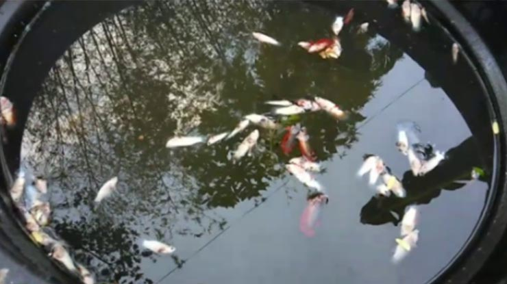 Ikan Cupang Mati Massal