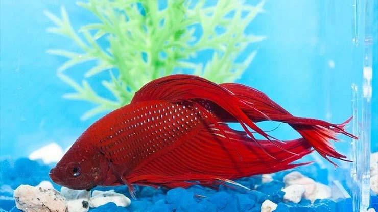 Ikan Cupang Mati Setelah Ganti Air