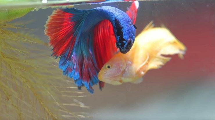 Ikan Cupang Mati Setelah Kawin