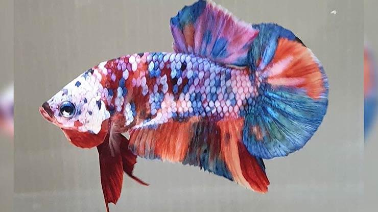 Jenis Multicolor