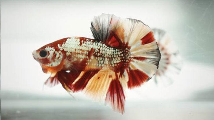 Jenis Nemo Copper