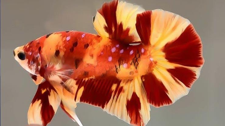 Jenis Nemo Leopard