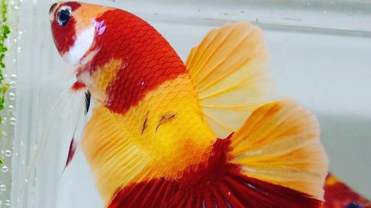 Jenis Nemo