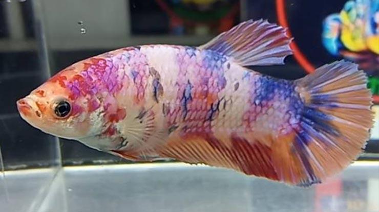 Usia Ikan Cupang Betina