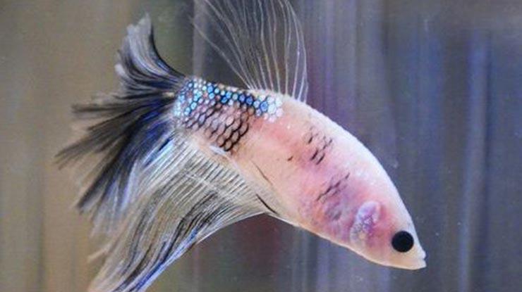 Warna Ikan Cupang Kusam