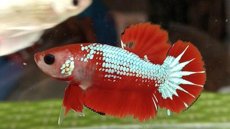 ukuran ikan cupang betina