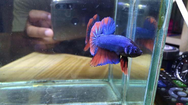 Apa Itu Ikan Cupang Besgel 1