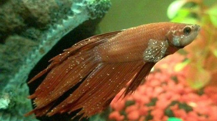 Apa Itu Jamur Ikan Cupang