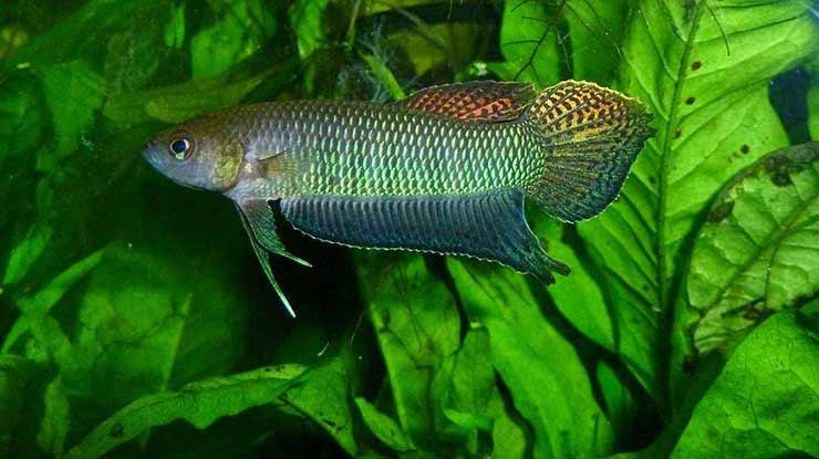 Ikan Cupang Bellica