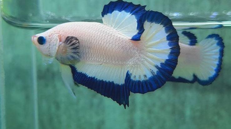 Ikan Cupang Bluerim
