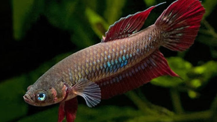 Ikan Cupang Coccina