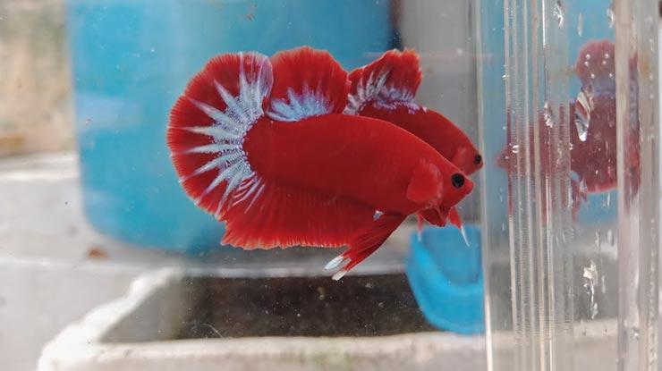 Ikan Cupang Hellboy