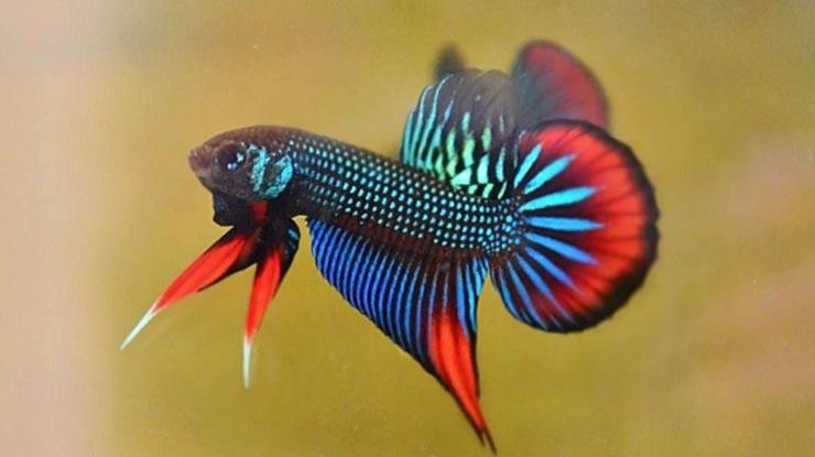 Ikan Cupang Imbellis