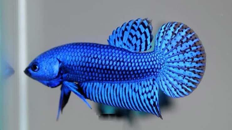 Ikan Cupang Smaragdina
