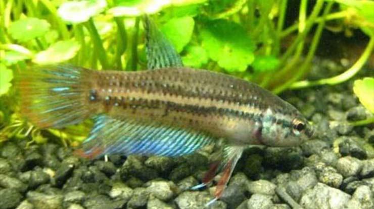 Ikan Cupang Tasyaee
