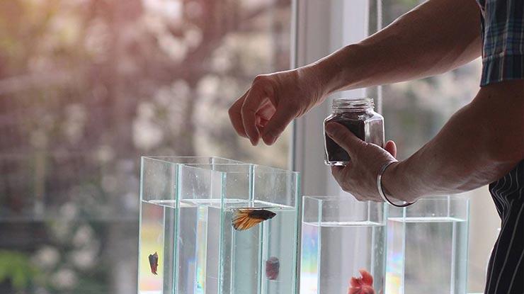 Jadwal Makan Ikan Cupang Dewasa