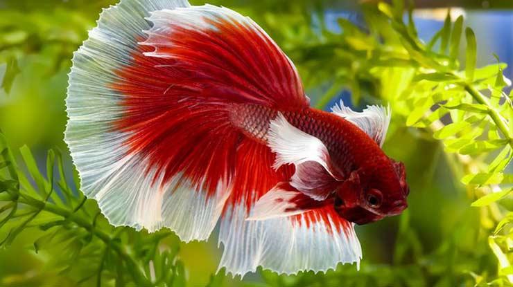 Mencerahkan warna Ikan Cupang