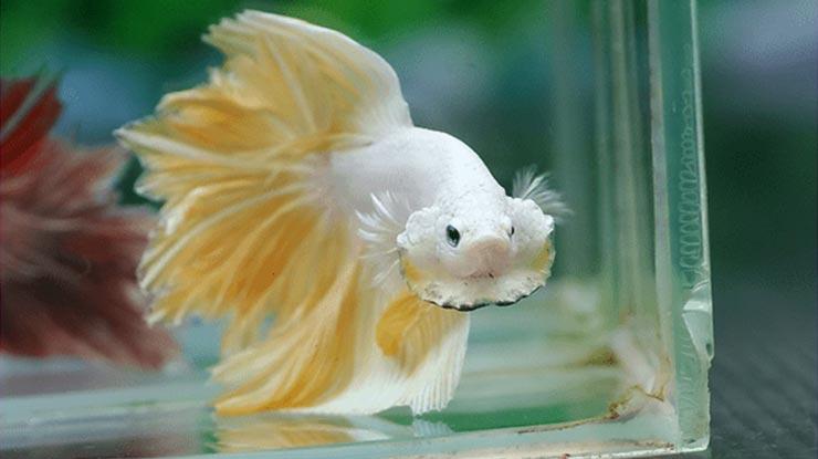 Menjaga Kesehatan Ikan Cupang