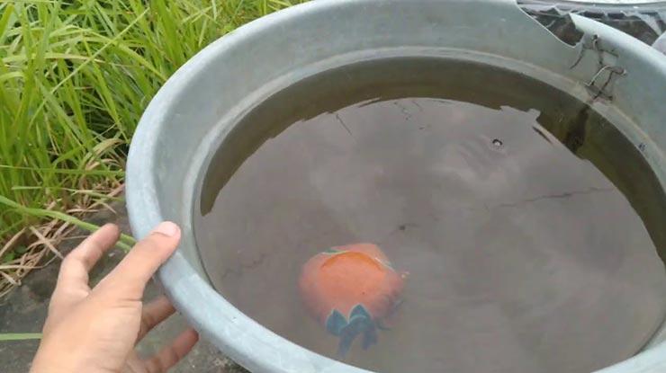Cara Budidaya Kutu Air Dengan Kotoran Ayam 1
