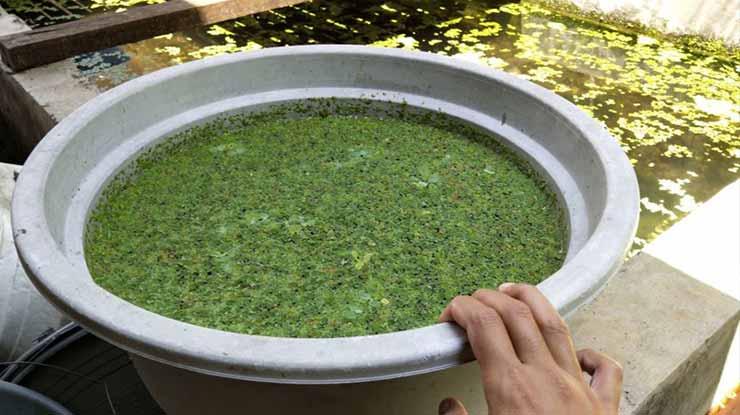 Ember Budidaya Kutu Air