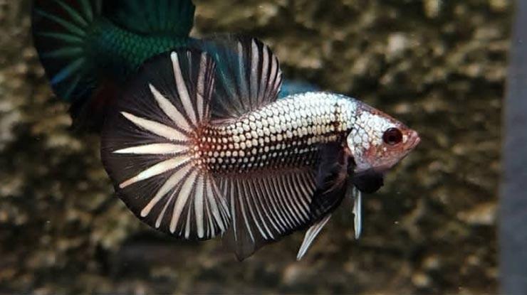 HMPK Black Copper Dragon