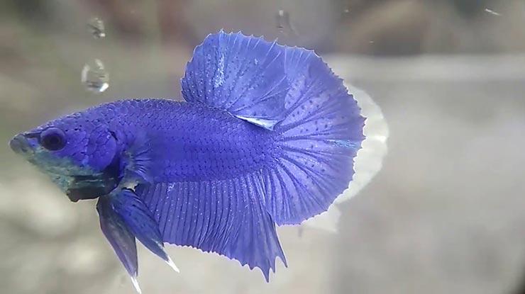 HMPK Royal Blue