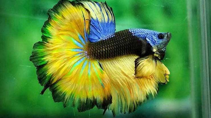 Kondisikan Ikan Cupang