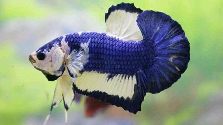 Genetik Ikan Cupang