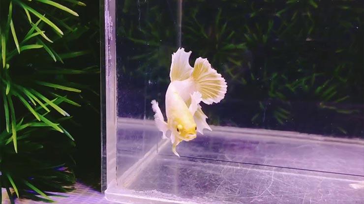 Harga Ikan Cupang Soft Gold