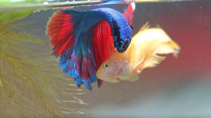 Memadukan Warna Ikan Cupang
