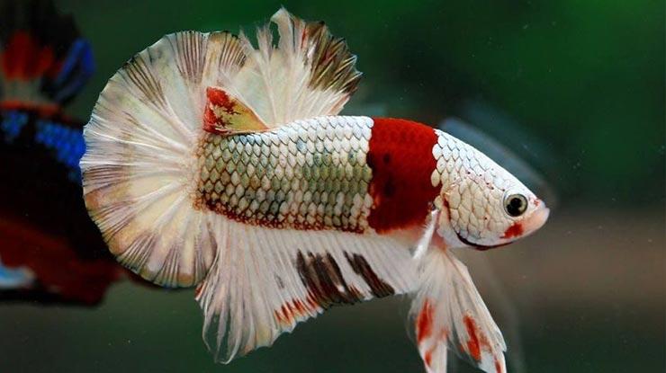 Warna Ikan Cupang