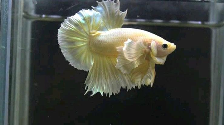 ikan cupang soft gold 1